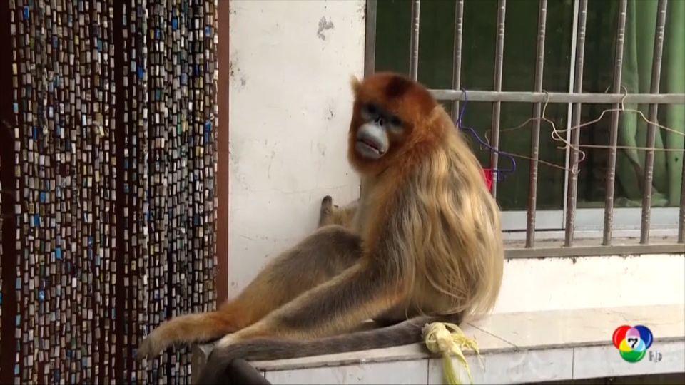 ลิงขนทอง ออกขออาหารชาวบ้านในจีน