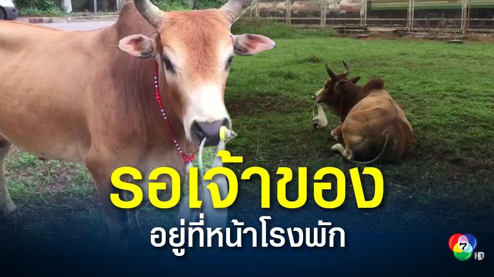 ช่วยวัวชนพลัดหลงกลางเมืองหาดใหญ่ คาดหลุดจากคอกเลี้ยง