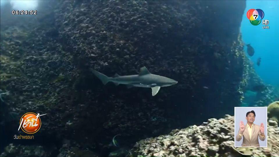 เปิดภาพ ฉลามหูดำ อวดโฉมแหวกว่ายแนวปะการังใต้ทะเล เกาะพีพี