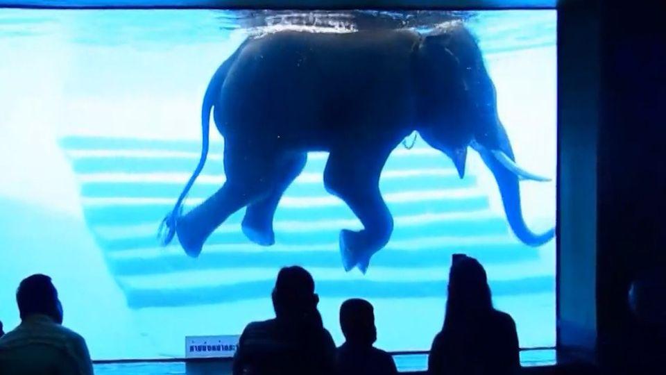 สีสัน ช้างแสนรู้ โชว์ลีลาเดินสองขาในน้ำผ่านกระจกใส