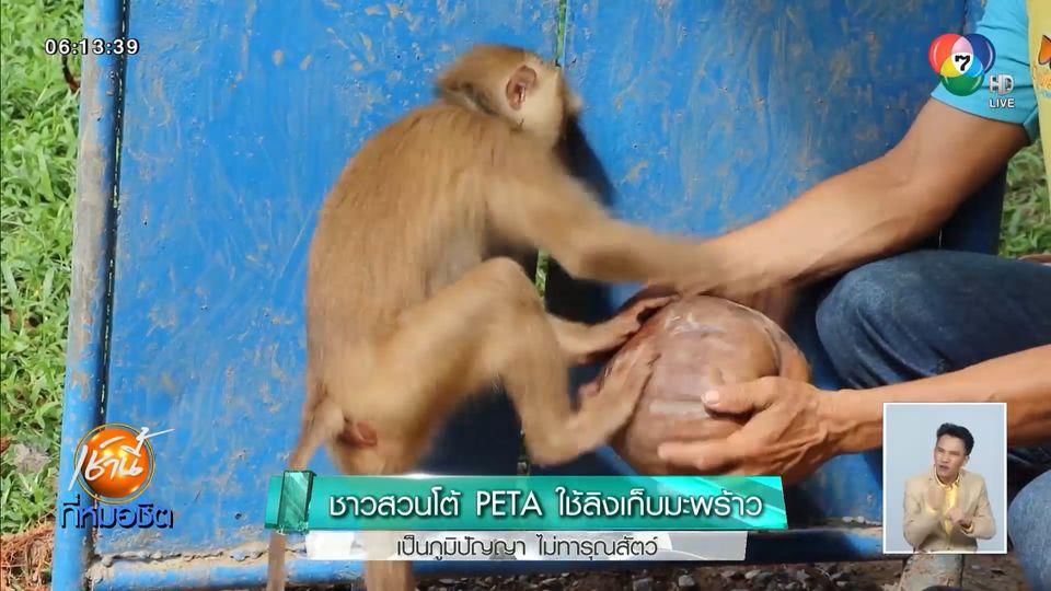 ชาวสวนโต้ PETA ใช้ลิงเก็บมะพร้าว เป็นภูมิปัญญา ไม่ทารุณสัตว์