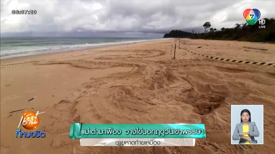 แม่เต่ามะเฟือง วางไข่นอกฤดูวันเข้าพรรษา ชายหาดท้ายเหมือง
