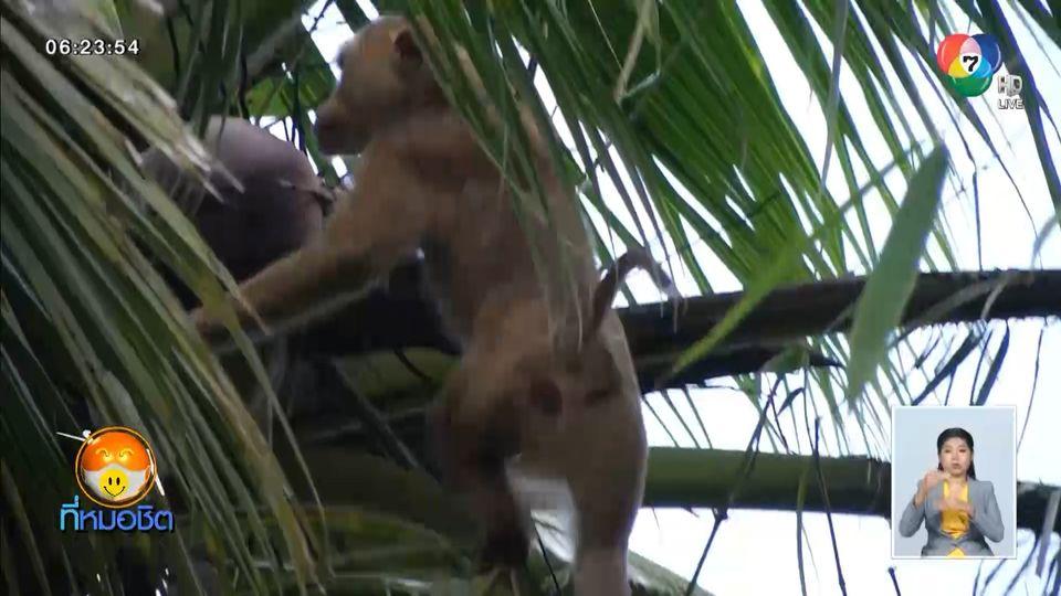 แก้ปัญหาผลิตภัณฑ์มะพร้าวไทย ใส่รหัสตรวจสอบได้ว่าใช้แรงงานลิงหรือไม่