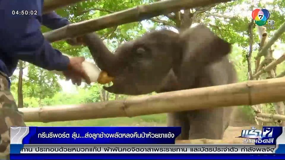 Green Report : ลุ้นส่งลูกช้างพลัดหลงคืนป่าห้วยขาแข้ง