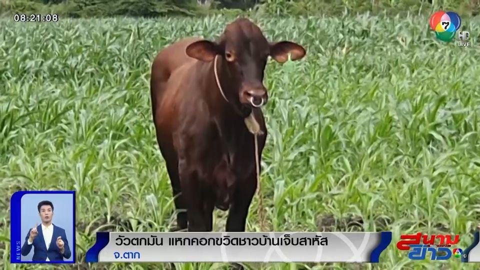 ภาพเป็นข่าว : วัวตกมัน แหกคอกไล่ขวิดชาวบ้านบาดเจ็บสาหัส