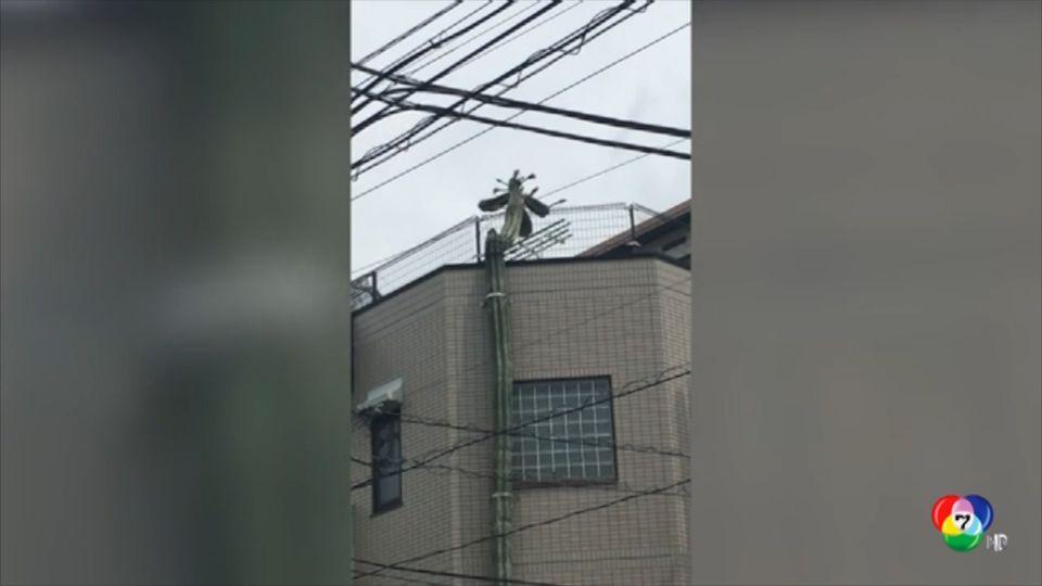 ฮือฮา! กระบองเพชรยักษ์สูงเท่าตึก 3 ชั้นในญี่ปุ่น