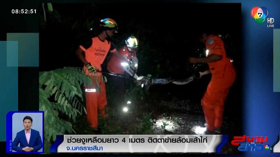 ภาพเป็นข่าว : ช่วยงูเหลือมยาว 4 เมตร ติดตาข่ายล้อมเล้าไก่ จ.นครราชสีมา
