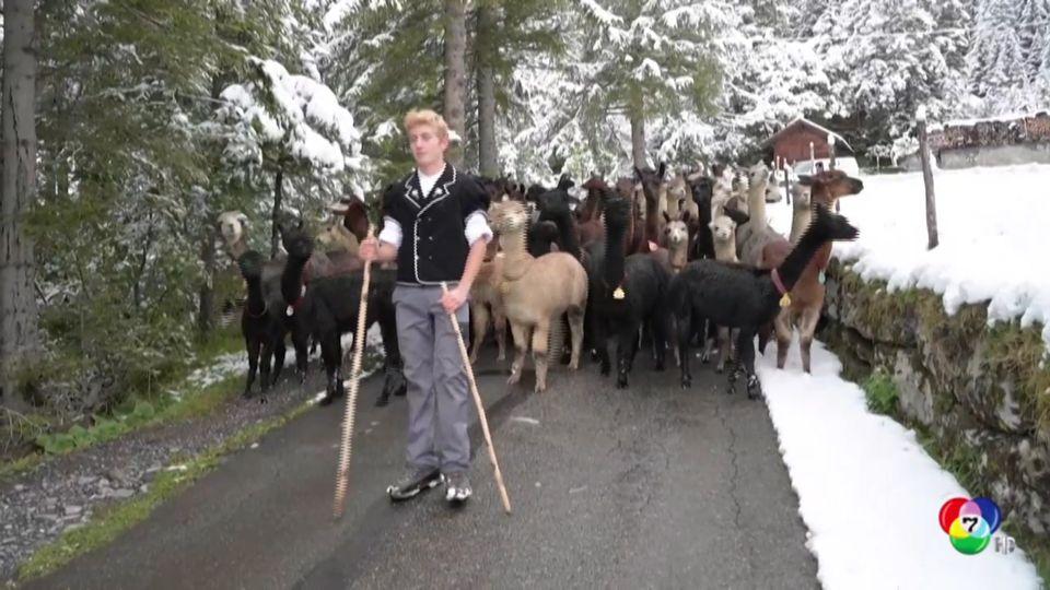 ต้อนฝูงสัตว์ลงจากเขาช่วงเข้าฤดูหนาวในสวิตเซอร์แลนด์