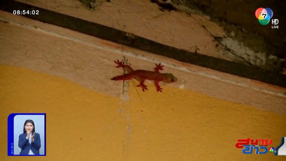 ภาพเป็นข่าว : ฮือฮา จิ้งจกสีแดงโผล่ในบ้าน เชื่อนำโชคลาภมาให้