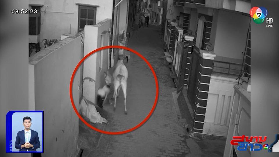 ภาพเป็นข่าว : ระทึก! วัวพุ่งทำร้ายยาย-หลาน ในอินเดีย