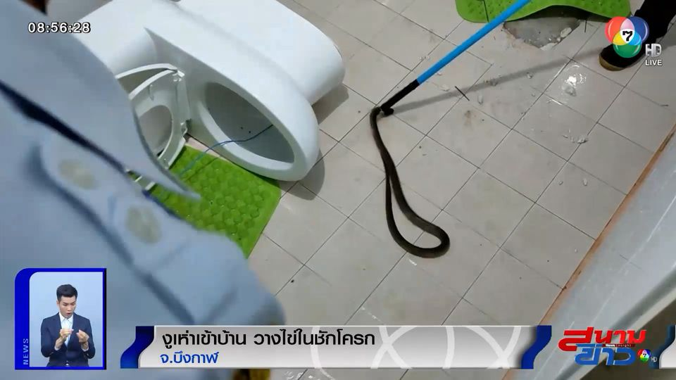 ภาพเป็นข่าว : สุดสยอง! งูเห่าเข้าบ้าน วางไข่ในชักโครก
