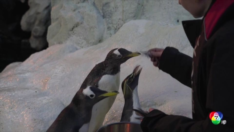เพนกวิน แก่ที่สุดในโลกที่สวนสัตว์เดนมาร์ก