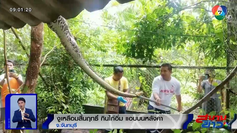 ภาพเป็นข่าว : สิ้นฤทธิ์! กู้ภัยจับงูเหลือมเขมือบไก่จนอิ่ม นอนขดบนหลังคา