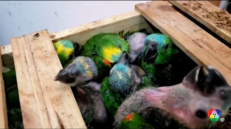 ตำรวจบราซิลบุกค้นรถยนต์ ช่วยชีวิตลูกนกจากขบวนการลอบค้าสัตว์ป่า