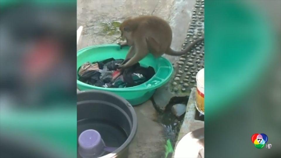 เผยภาพลิงป่าแสนรู้แอบซักผ้าในอินโดนีเซีย