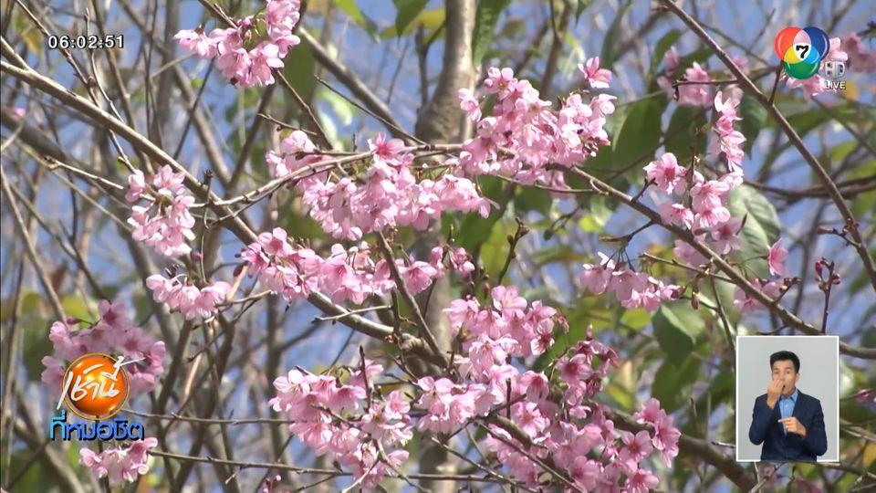 นักท่องเที่ยวแห่ชมดอกซากุระบนยอดภูลมโล เริ่มบานสะพรั่งสวยงาม