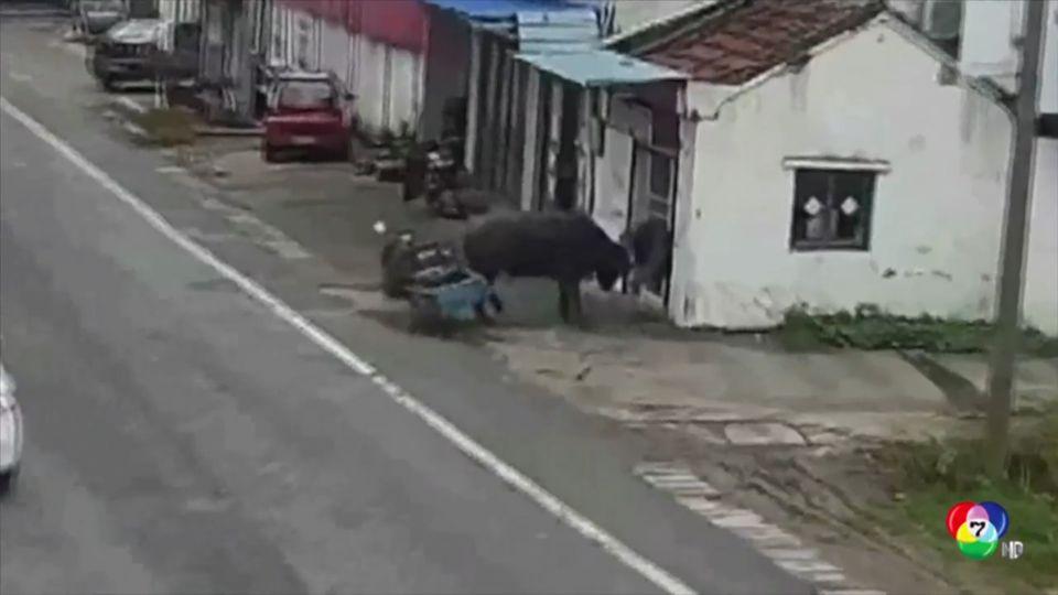 ระทึก! วัวขวิดชายสูงอายุบาดเจ็บในจีน