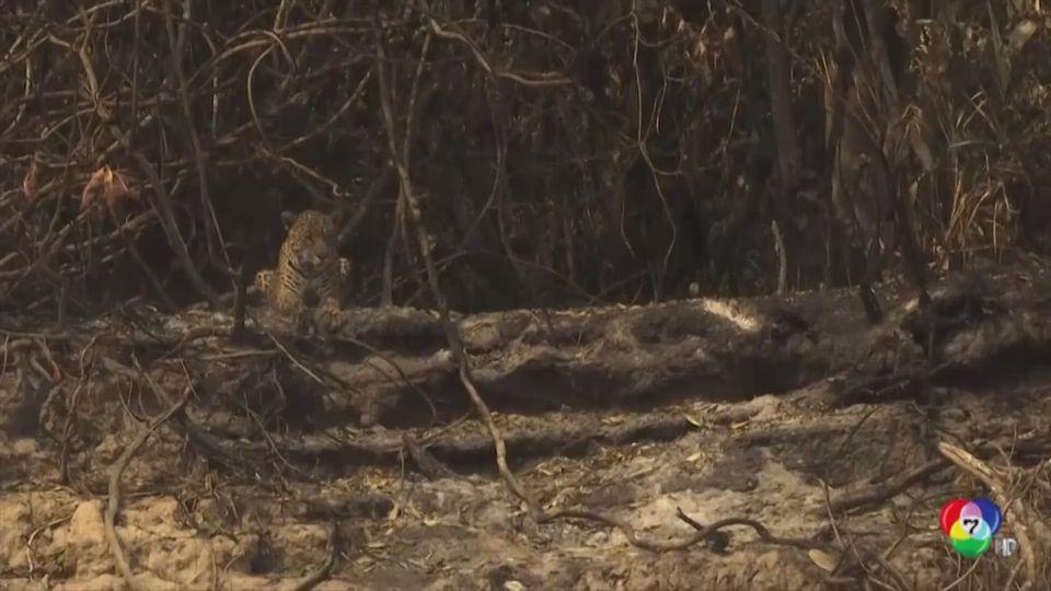 ไฟป่าแอมะซอนเผาพื้นที่สีเขียววอด 10 ล้านไร่ สัตว์ป่าบาดเจ็บล้มตายจำนวนมาก