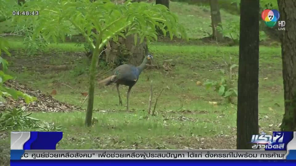 Green Report : unseen นกยูงฝูงใหญ่ป่าซับลังกา