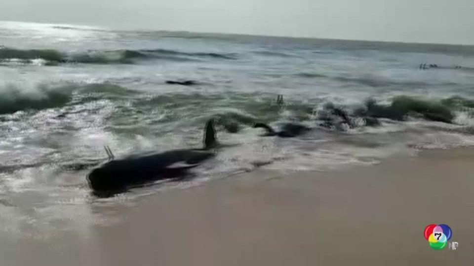 ช่วยวาฬนับร้อยตัวเกยตื้นในศรีลังกา ส่งกลับสู่ทะเล
