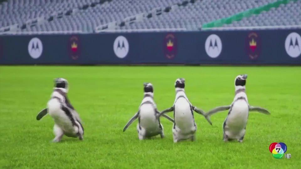 กลุ่มเพนกวิน เดินสำรวจสนามแข่งขันฟุตบอล