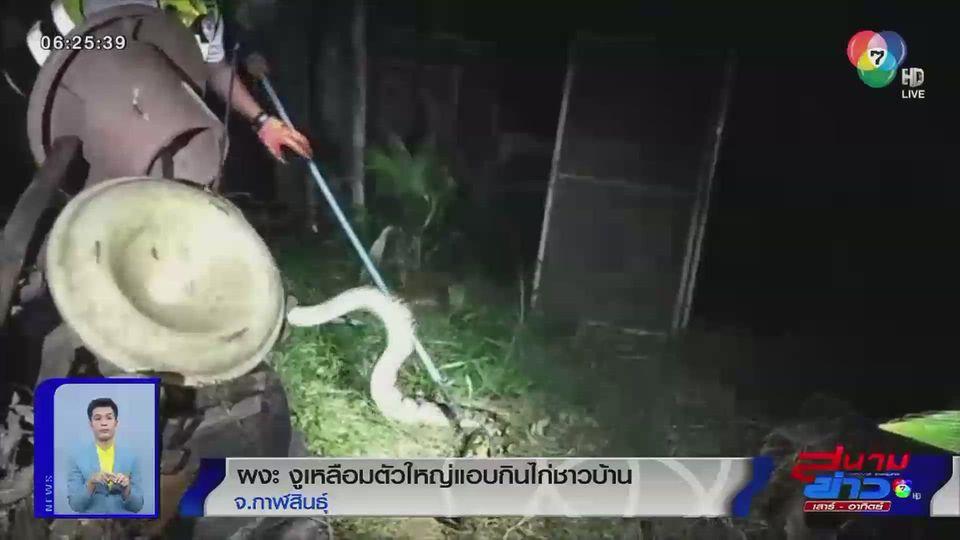 ภาพเป็นข่าว : ผงะงูเหลือมตัวใหญ่แอบกินไก่ชาวบ้าน