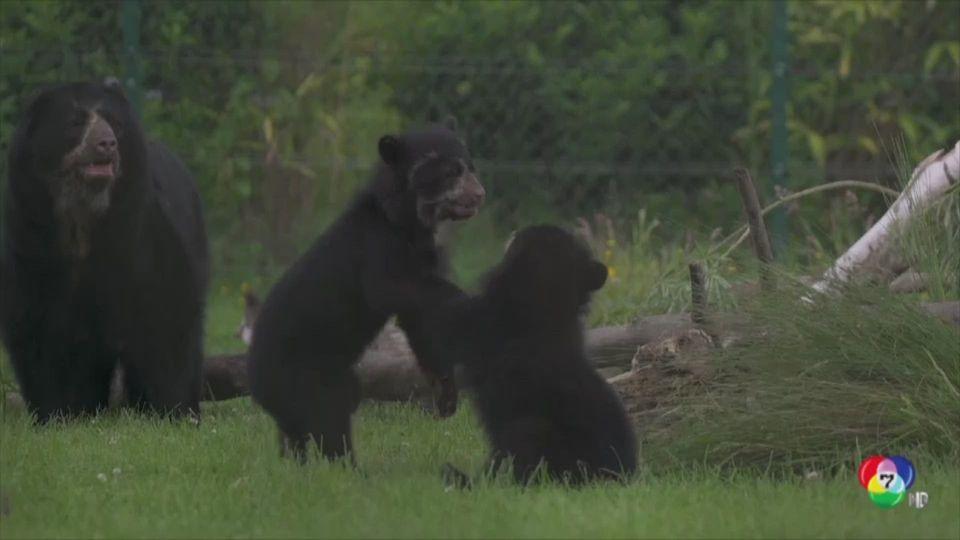 เปิดตัวลูกหมีแอนดีน แฝด คู่แรกของสวนสัตว์อังกฤษ
