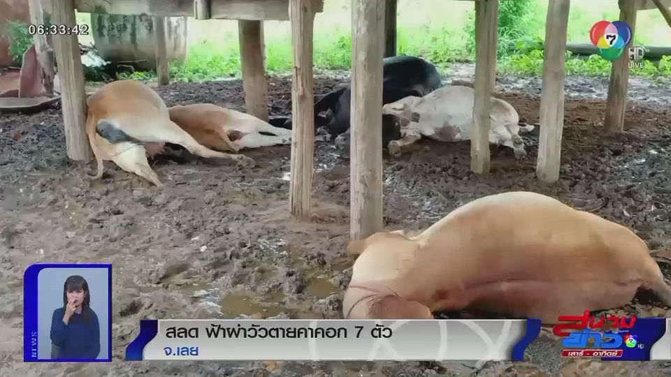 ภาพเป็นข่าว : สลด ฟ้าผ่า วัวตายคาคอก 7 ตัว