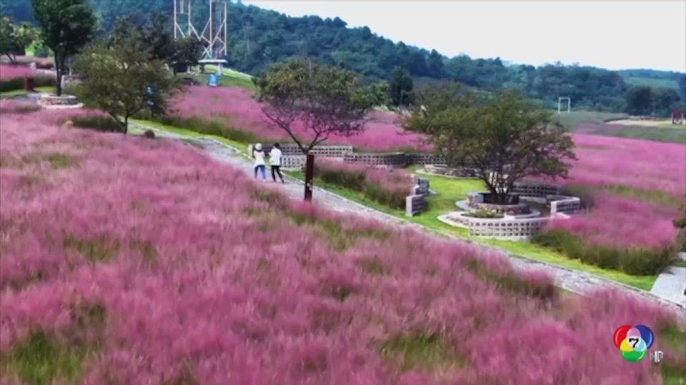 บรรยากาศความสวยงามของทุ่งหญ้าสีชมพู ในจีน
