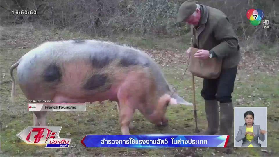 รายงานพิเศษ : สำรวจการใช้แรงงานสัตว์ในต่างประเทศ