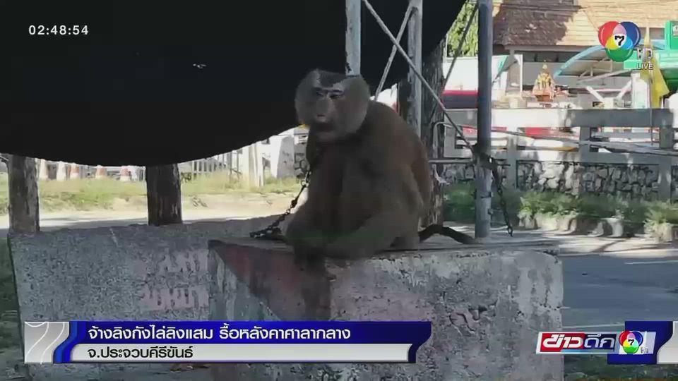 จ้างลิงกังไล่ลิงแสม รื้อหลังคาศาลากลาง จ.ประจวบคีรีขันธ์