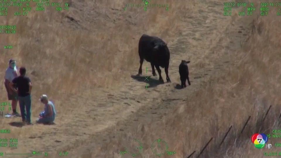 กู้ภัยสหรัฐฯ ช่วย 2 นักปีนเขา ถูกแม่วัวหวงลูกวิ่งไล่ ภายในเขตอุทยานที่รัฐแคลิฟอร์เนีย