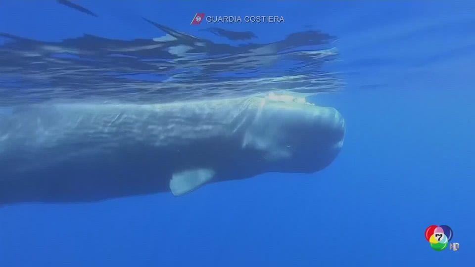 เผยภาพฝูงวาฬหัวทุย 8 ตัว ว่ายน้ำรวมกันนอกชายฝั่งอิตาลี