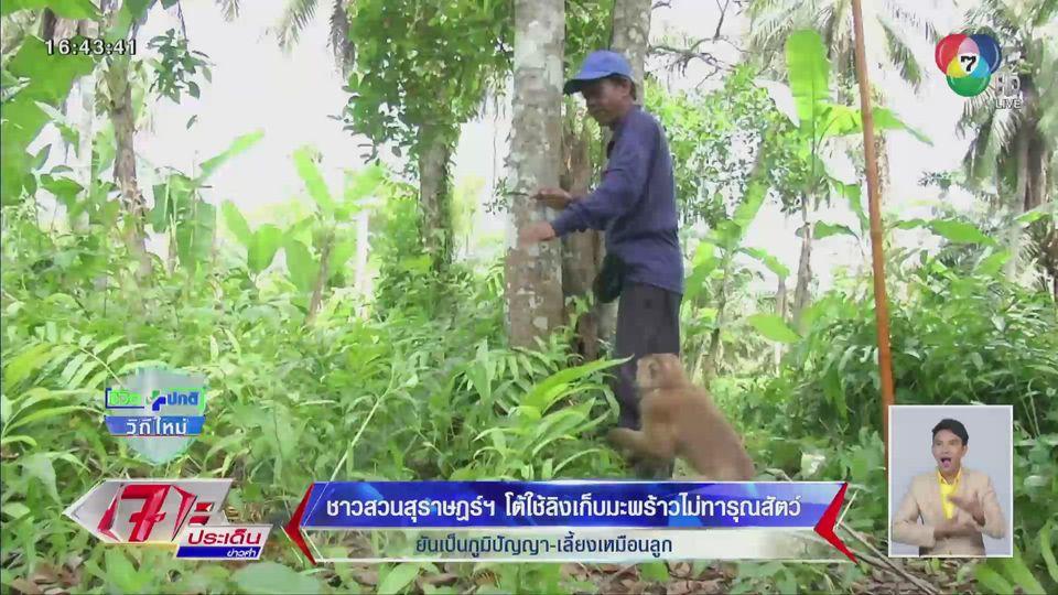 รายงานพิเศษ : ชาวสวนสุราษฎร์ฯ โต้ใช้ลิงเก็บมะพร้าวไม่ทารุณสัตว์ ยันเป็นภูมิปัญญา-เลี้ยงเหมือนลูก
