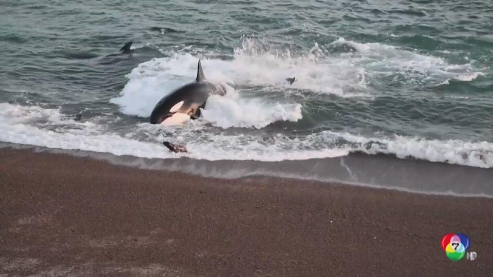 ลูกสิงโตทะเลรอดจากการถูกวาฬเขมือบหวุดหวิด
