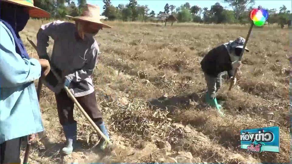 ข่าวเกษตร : หัวพันธุ์ดอกกระเจียวหวานสร้างเงินแสน