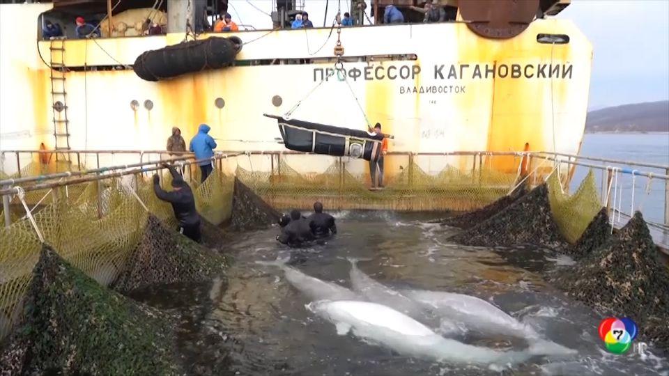 รัสเซียปล่อยวาฬเบลูกาจากคุกวาฬกลับสู่ทะเล