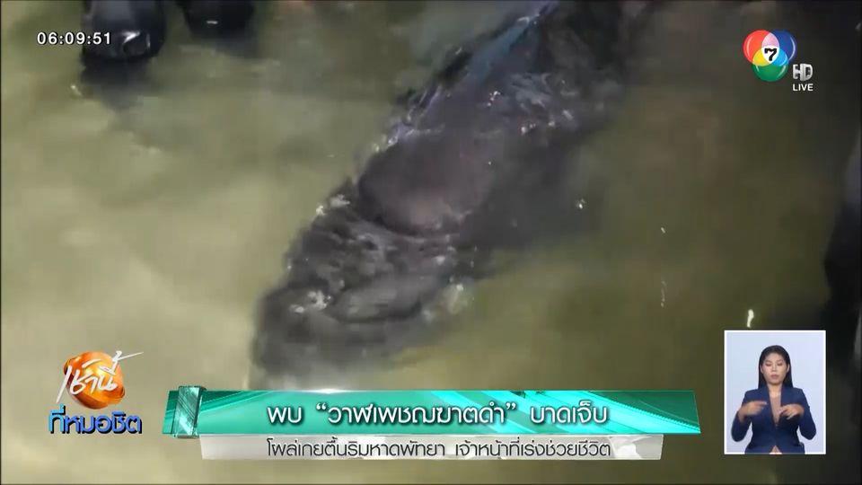 พบวาฬเพชฌฆาตดำบาดเจ็บ โผล่เกยตื้นริมหาดพัทยา เจ้าหน้าที่เร่งช่วยชีวิต