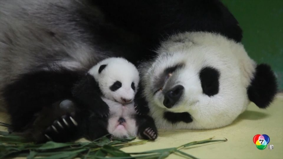 สวนสัตว์ฉางหลง ซาฟารี เผยภาพลูกแพนด้ายักษ์เกิดช่วงวันชาติจีน