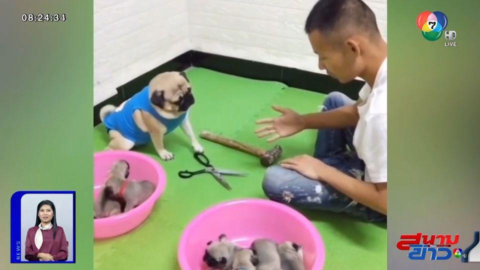 ภาพเป็นข่าว : คลิปน่ารัก เดิมพันด้วยชีวิต แม่สุนัขแข่งเป่ายิงฉุบ แย่งลูกสุนัข