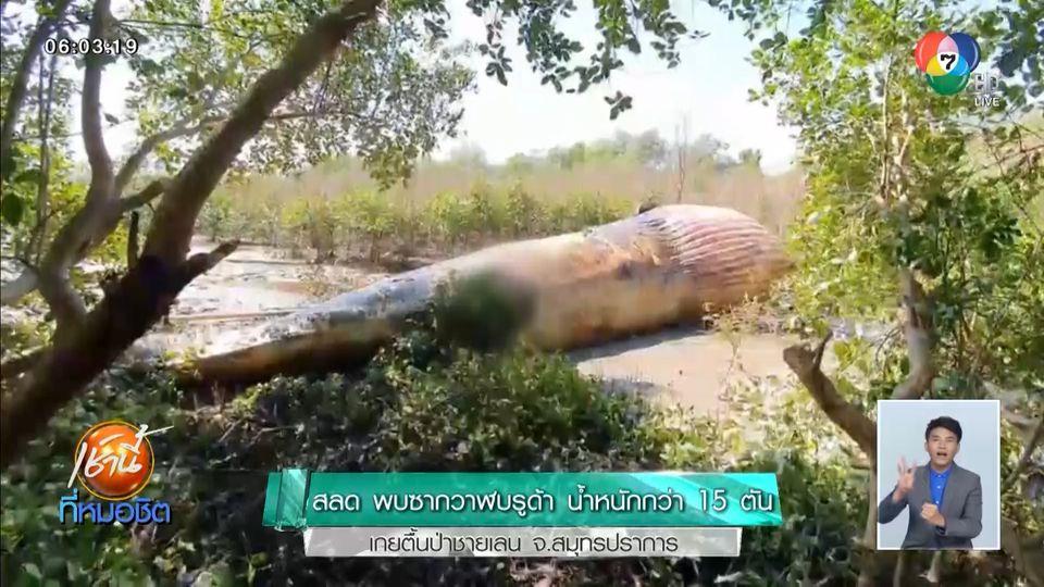 สลด พบซากวาฬบรูด้า น้ำหนักกว่า 15 ตัน เกยตื้นป่าชายเลน จ.สมุทรปราการ