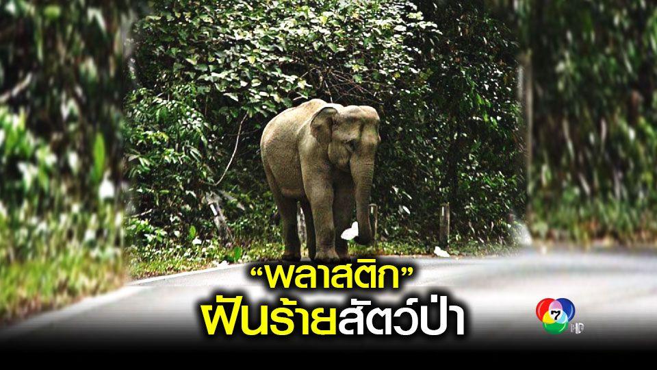 ฝีมือมนุษย์! ช้างเขาใหญ่ กินถุงพลาสติก