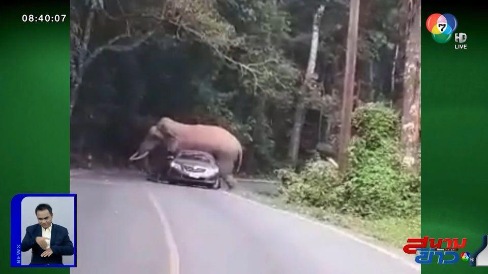 ภาพเป็นข่าว : สมชื่อ! พี่ดื้อ ช้างป่าเขาใหญ่ ขย่มรถนักท่องเที่ยวหลังคายุบ