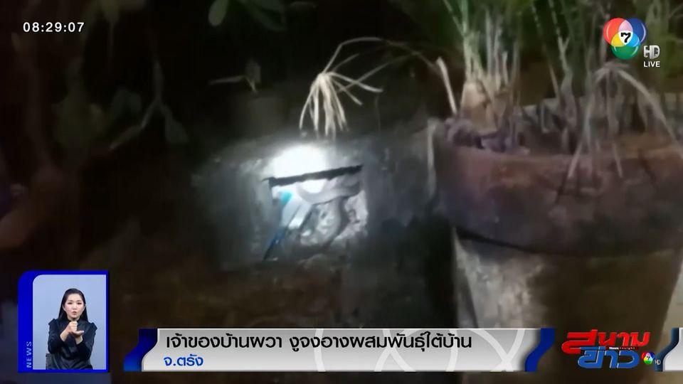 ภาพเป็นข่าว : เจ้าของบ้านผวา! เจองูจงอางผสมพันธุ์กันใต้บ้านถึง 3 ตัว จ.ตรัง