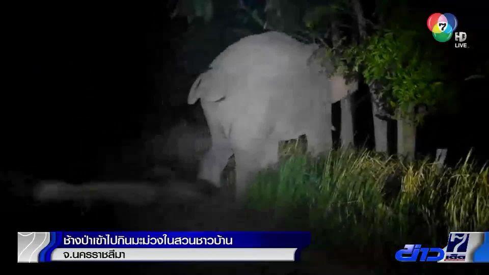 ช้างป่าเข้าไปกินมะม่วงในสวนชาวบ้าน จ.นครราชสีมา
