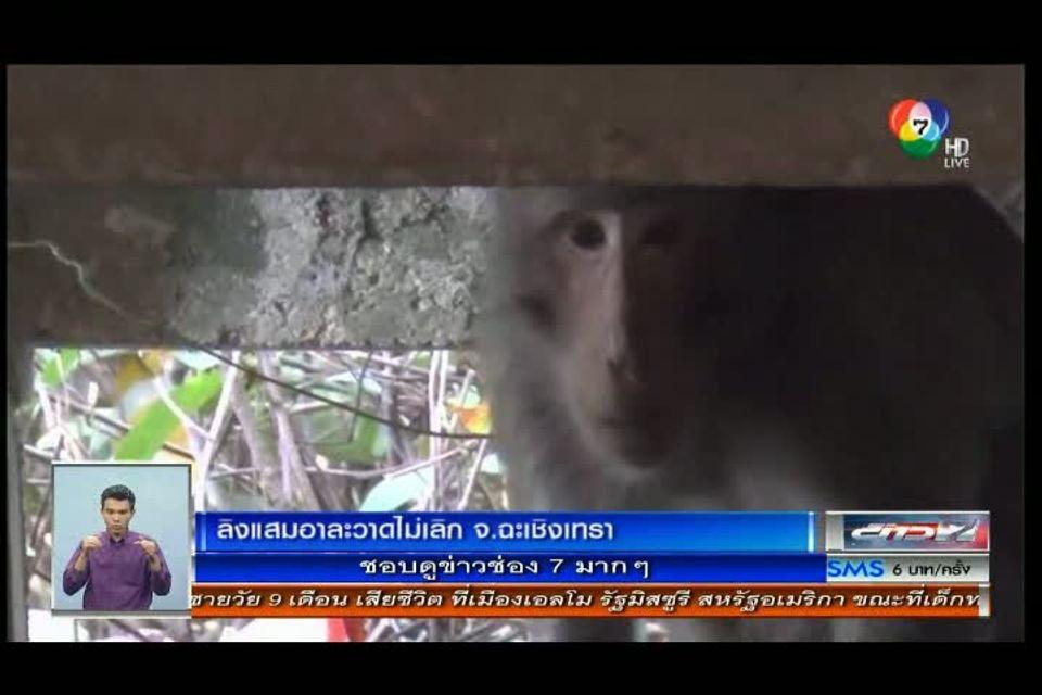 ป่วนหนัก! ลิงแสมป่าบุกอาละวาด ขโมยนมชงกินเรียบ 8 ขวด