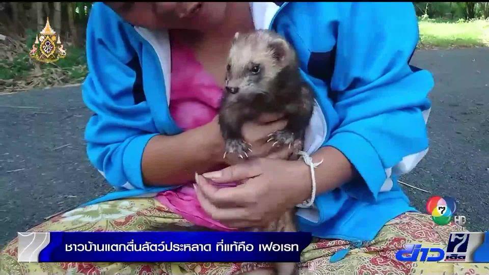 ชาวบ้านพุทธมณฑลแตกตื่นพบสัตว์ประหลาด ที่แท้ ตัวเฟอเรทนำเข้าต่างประเทศ
