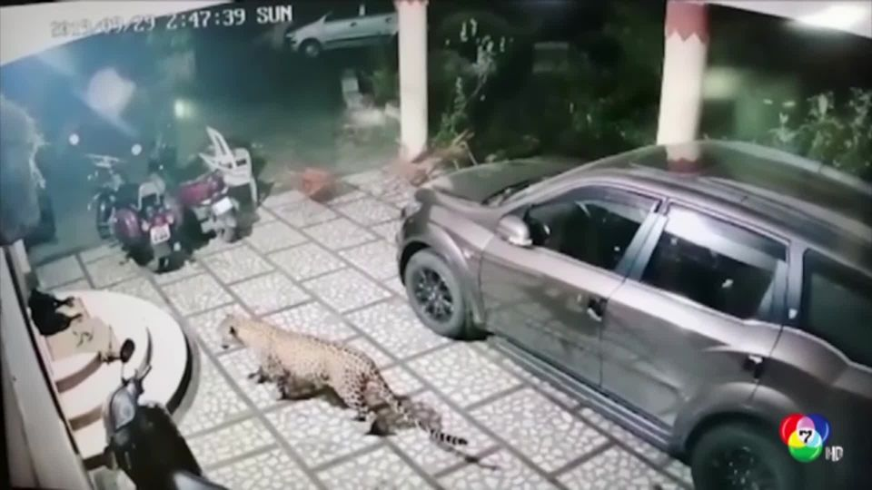 เสือดาวย่องงับสุนัขในอินเดีย