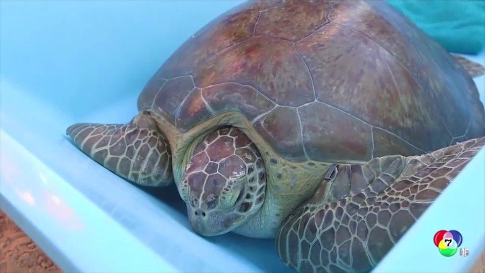 ปล่อยเต่าถูกฉมวกแทงกลับสู่ทะเลหลังฟื้นตัว