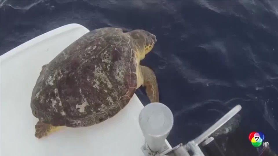 โรงพยาบาลสัตว์ทะเลในเม็กซิโก ปล่อยเต่า 6 ตัว กลับสู่ทะเล หลังพักฟื้นนาน 2 ปี